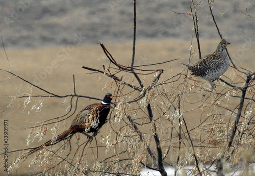 Fototapeta ring necked pheasant and sharptail grouse on russian olive tree