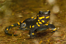 Portrait Of  Fire Salamander  ...