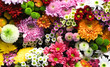 Flowers wall background with amazing red, orange, pink, purple, green and white chrysanthemum flowers for Wedding decoration, hand made Beautiful flower wall background