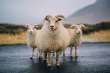 Three Icelandic Goats Stand On...