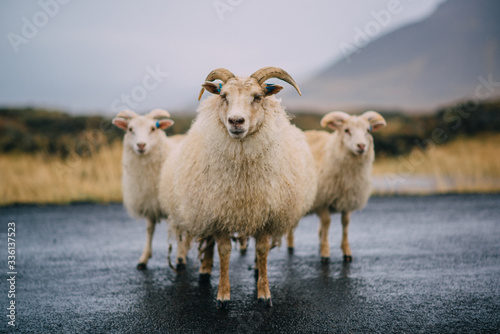 Fototapeta Three Icelandic goats stand on the road.