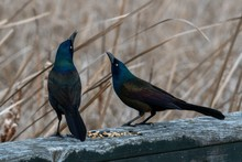 Black Boat-tailed Grackle Perc...