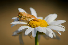 A Moth Sits On A Camomile