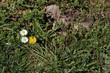 Gänseblümchen und Löwenzahn, Bellis perennis und Taraxacum officinale