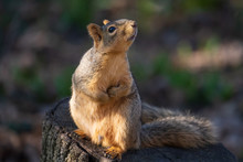 A Fox Squirrel Looks Up At A B...