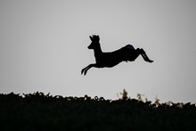 Young Roe Deer Jumping Across ...