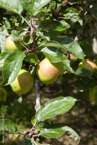 Saltash (England), UK - August 21, 2015: Apples in Cotehele park, near Saltash,  Cornwall, England, United Kingdom Canvas Print