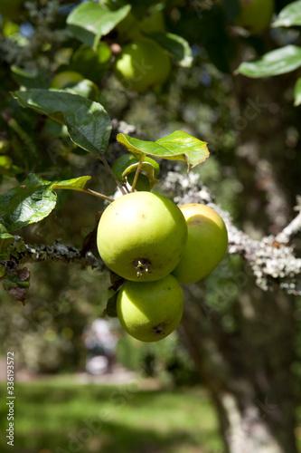 Saltash (England), UK - August 21, 2015: Apples in Cotehele park, near Saltash,  Cornwall, England, United Kingdom Wallpaper Mural