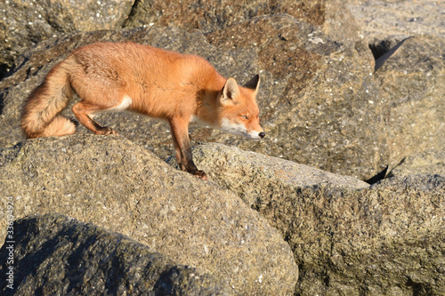 Fotografie, Obraz Beautiful portrait a fox that hunts and lives on the dam along the beach of the North Sea