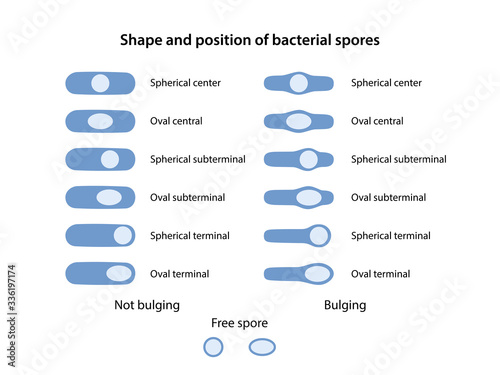 Photo Shape and position of bacterial spores