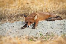 Bored Young Red Fox, Vulpes Vu...