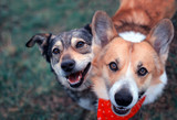 Fototapeta Dogs - two cute happy the dogs sit side by side on the spring green grass and look loyally up at their owner
