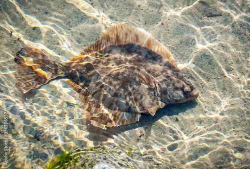Canvastavla Flunder fish in the shallow water