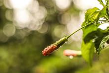 Hibiscus En La Lluvia