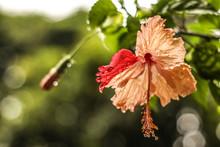 Hibiscus Lluvioso