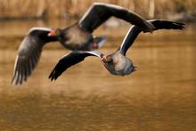 Greylag Goose (Anser Anser) In...