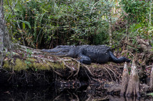 Big Alligator On A Log