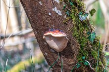 Bracket Mushroom On A Tree In ...