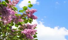Lilac Tree Flowers View. Lilac...