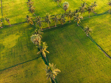 Lines Pattern On Green Rice Farm And Palm Trees