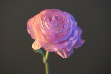 Pink Ranunculus On Black Backg...