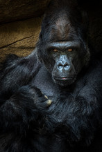 Silverback Gorilla Staring