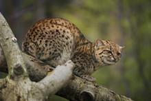 Geoffroy's Cat, Leopardus Geof...