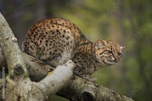 Fotografie, Tablou Geoffroy's cat, Leopardus geoffroyi, wild cat native to the South America