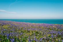 Bluebells On The Coast.