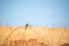 African Green Bee-eater Bird Perched On Slender Reed In Tanzania Africa