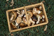 A Basket Of Foraged Mushrooms