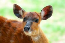 Sitatunga, Antilope Dell'Afr...