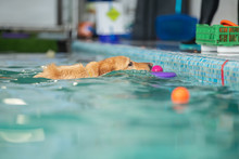 A Dog Swims In A Pool With A Toy. Sports Event In The Water