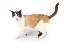 Siamese And Ragdoll Cross Cat Making A Face On White Background