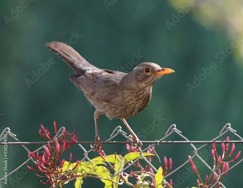 Female blackbird (Turdus merula) about to fly off from grass of backyard lawn Wallpaper Mural