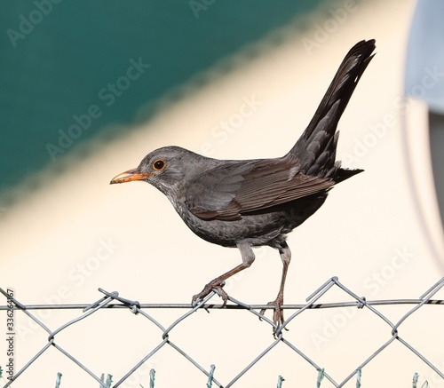 Photo Female blackbird (Turdus merula) about to fly off from grass of backyard lawn