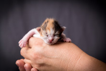 Newborn Tricolor Kitten In Wom...