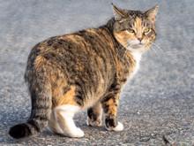 Calico Cat Looking