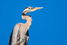 Profile Of A Great Blue Heron ...
