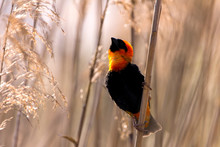 Southern Red Bishop Bird Showing Off