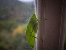 Katydid, From The Tettigoniidae Family, Resting On The Edge Of The Window, Areal, Rio De Janeiro, Brazil
