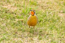 Cape Longclaw Bird Walking On Grass
