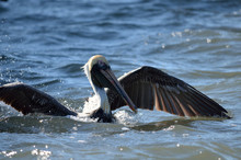 Brown Pelican Sitting On Water...
