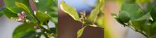 Lemon Bud, Flower And Fruit