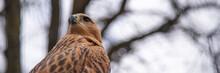 Buzzard Buteo Close Up Portrait Raptor Bird