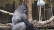 Beautiful Shot Of Gorilla Eati...