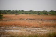 Crane Bird In Field Migratory Birds