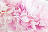 Petali di peonia rosa