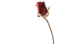Single Dried Red Rose Isolated On White Background