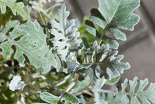 Senecio Cineraria, Dusty Miller, Cineraria Maritima, Silver Dust (Compositae) Shrub
